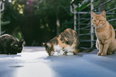 communicable cat diseases