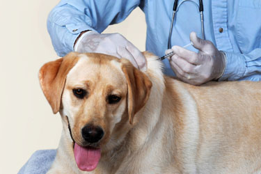 Veterinarian Tips: Why Vaccinate?